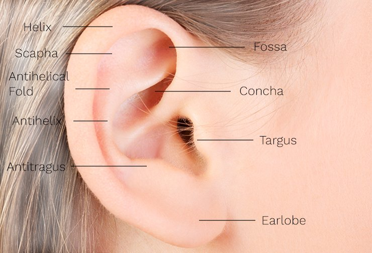 About prominent ears diagram of external ear for setback otoplasty ccuart Images
